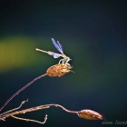 Libelle, Dragonfly