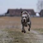 Weimaraner, Pointing Dog, Braque de Weimar,
