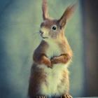 Eichhörnchen, Squirrel