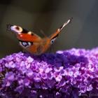 Schmetterling, Butterfly, Tagpfauenauge