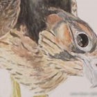 Red naped shaheen, 24 Karat gold painting, watercolour 35 x 40 cm