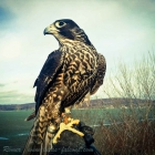 Luisa, female peregrine in the field