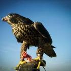 female peregrine falcon, crow hunting