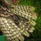 Tail of a saker
