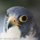 Alfie, male peregrine falcon, waiting on style, Wanderterzel