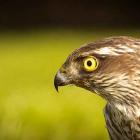 Sparrowhawk, accipiter nisus, Sperber